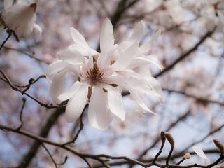 シデコブシの花3