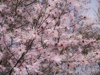 シデコブシの花4