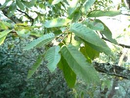 アベマキの葉