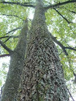 アベマキの幹