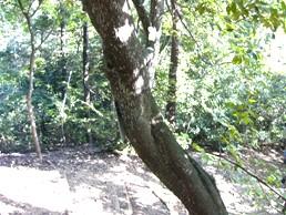 カナメモチ樹皮