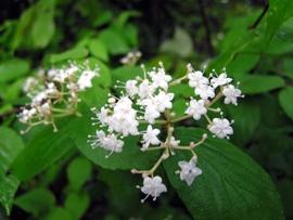 コバノカバズミの花