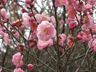梅の花(拡大)