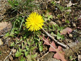 タンポポの黄色い花
