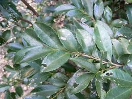 ヒサカキの葉