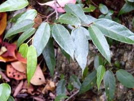 イタビカズラの葉