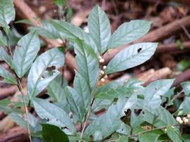 イズセンリョウの葉