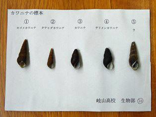 カワニナの標本