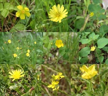 様々な黄色の草花