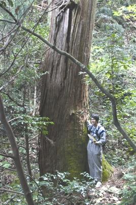 金華山一の大杉