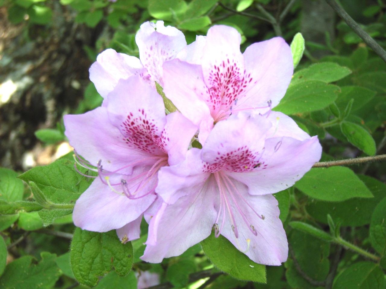 モチツツジ花