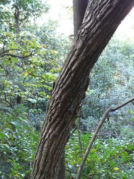 ネジキの樹皮