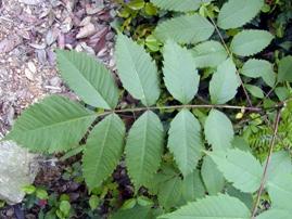 ヌルデの葉