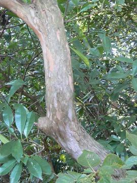 リョウブの樹皮