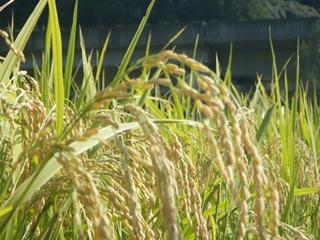 達目洞で育った稲
