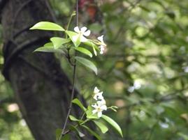 テイカズラの花