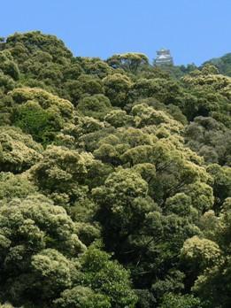 ツブラジイの森