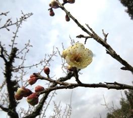 3月4日の梅の様子