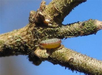 ウラゴマダラシジミの初齢幼虫
