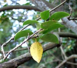 ウスノキの葉