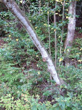 ウスノキの樹皮