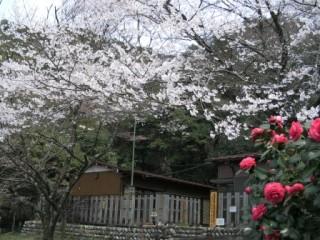 薄墨桜と学習センター