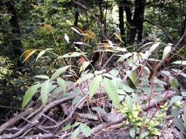 ヤマウルシの葉