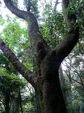 ヤマザクラ樹皮